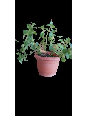 Oregano, planta ghiveci